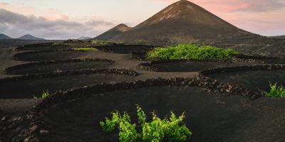 La peculiar vendimia de la Malvasía Volcánica en Lanzarote