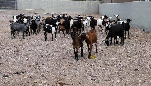 Verband der Viehzüchter Maramajo de Teguise